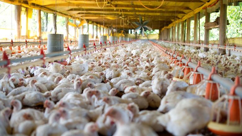 Greve dos caminhoneiros impactou abate de frango e produção de leite, revela IBGE