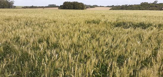 Área de trigo na região da Cotriel cresce e tem bom desenvolvimento