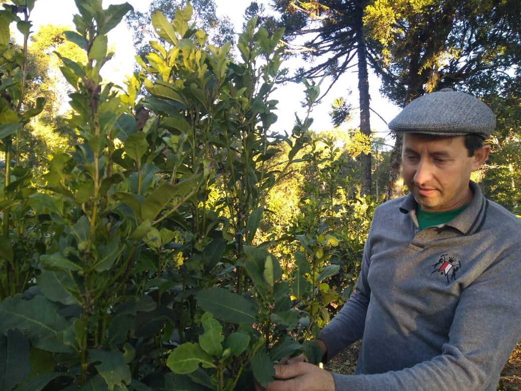 Delmar Santin fala sobre nutrição e manejo na cultura da erva-mate