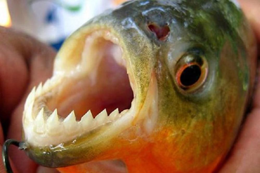 Piranhas podem se espalhar por todo o sistema fluvial do RS