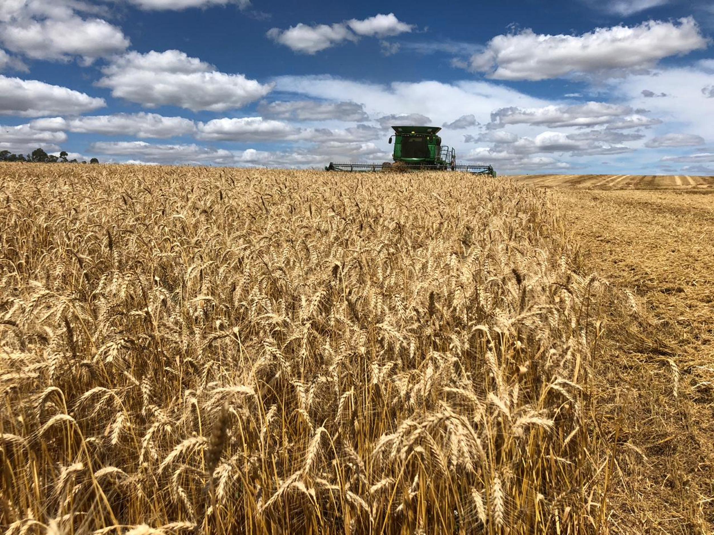 Eventos climáticos afetam safra de trigo no Rio Grande do Sul