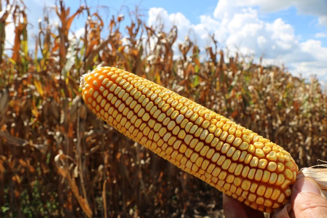 Produção de milho em terras baixas é tema de encerramento do ciclo de Webinar Técnico