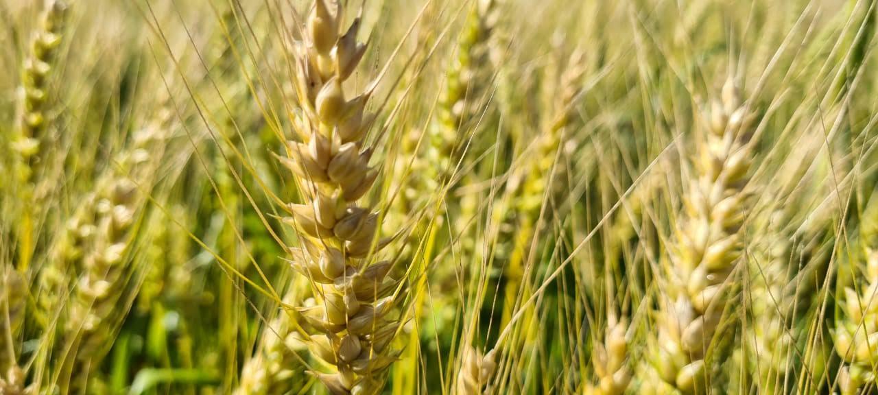 Trigo já tem 3% da área cultivada colhida no Estado