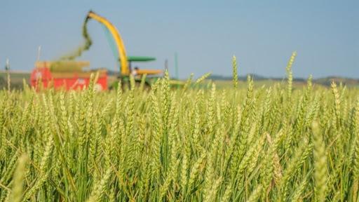 Evento online debate estratégias de manejo de trigo para produção de pastagem e silagem