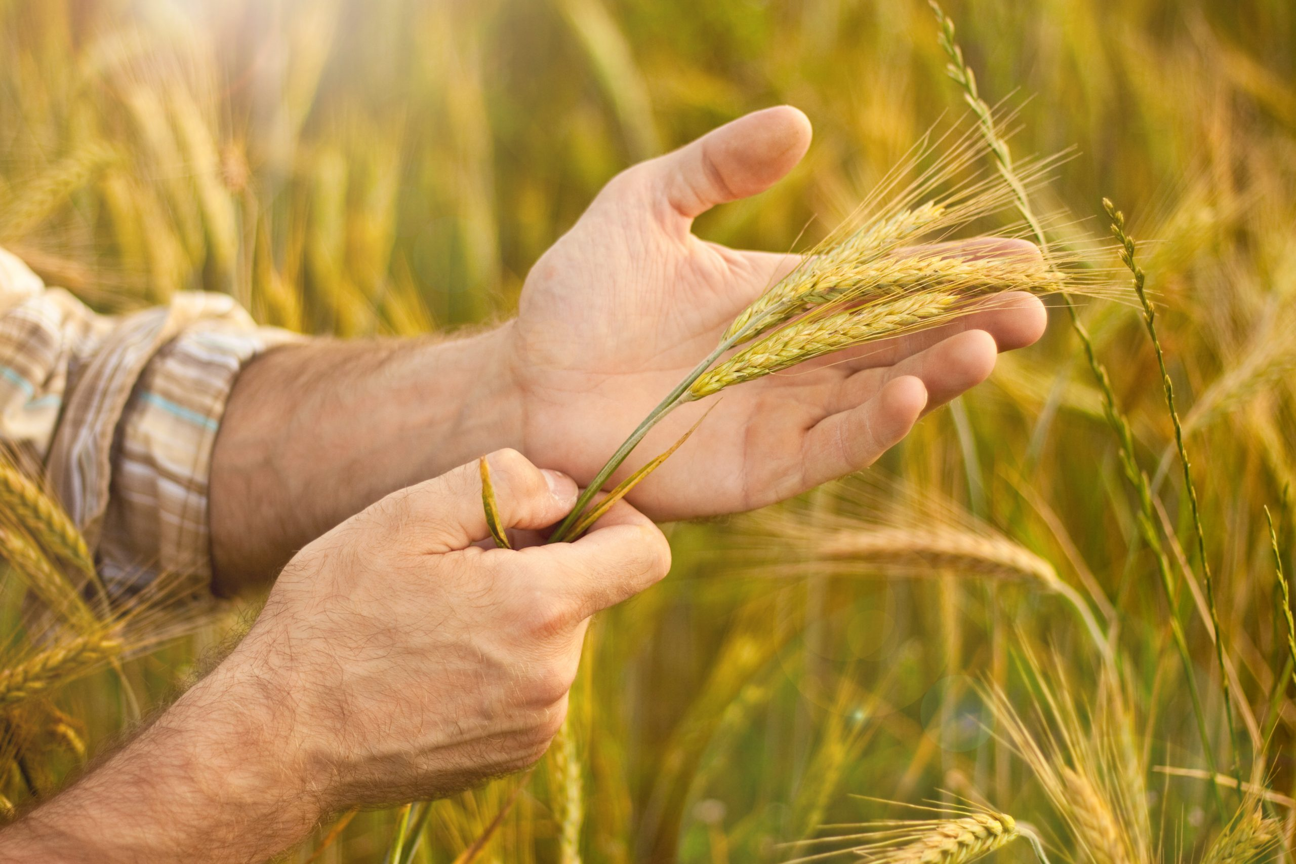 Área de trigo no RS deve superar 1 milhão de hectares no RS