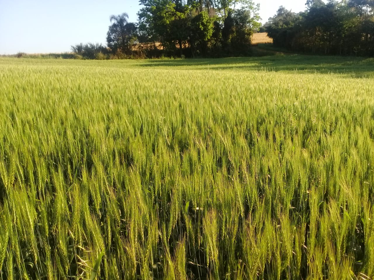 Plantio do Trigo tem sequência no Estado com clima colaborando