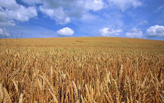 Conab promove reuniões no RS para atualizar custos do trigo, milho e soja