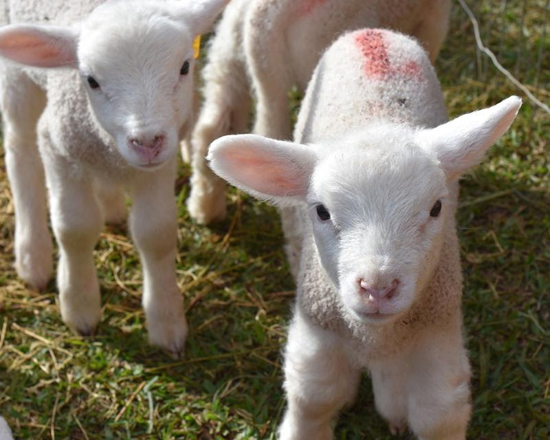 Técnica reprodutiva permite nascimento programado de cordeiros na UPF