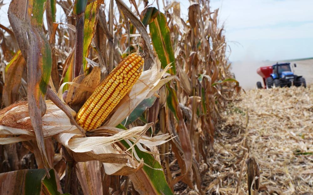 Área de ação da Cotrijal registra média de 173 sc/ha de milho
