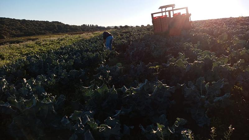 Parceria entre UPF e empresa de cereais permite o plantio de quatro hectares de brócolis